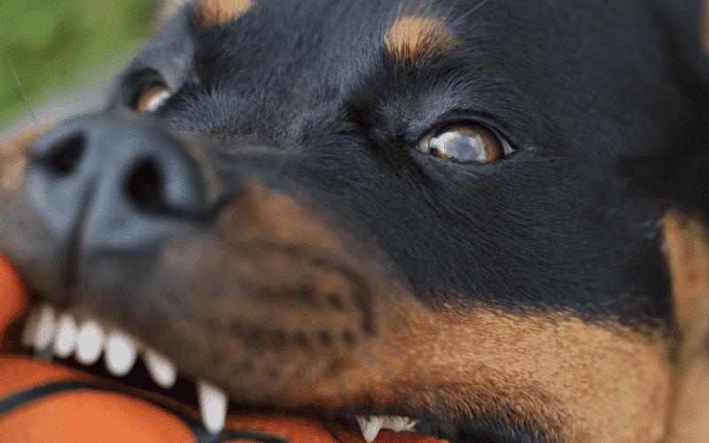 Rottweiler Dog Training Brisbane