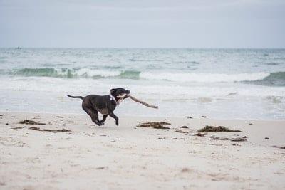 Staffy dog in Training