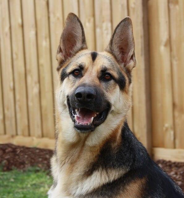 naughty german-shepherd-that needs a lot of dog training brisbane