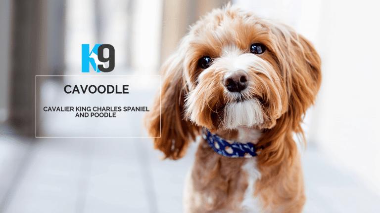 Cavoodle Dog Training