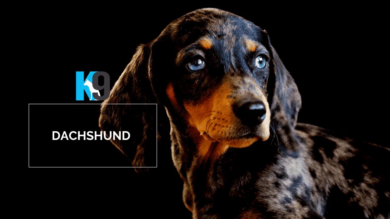 Dachshund - Sausage Dog